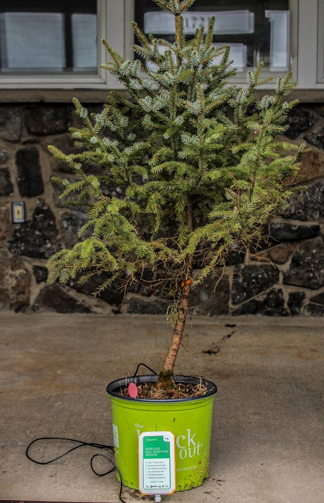 Potted Christmas tree with Soilmote