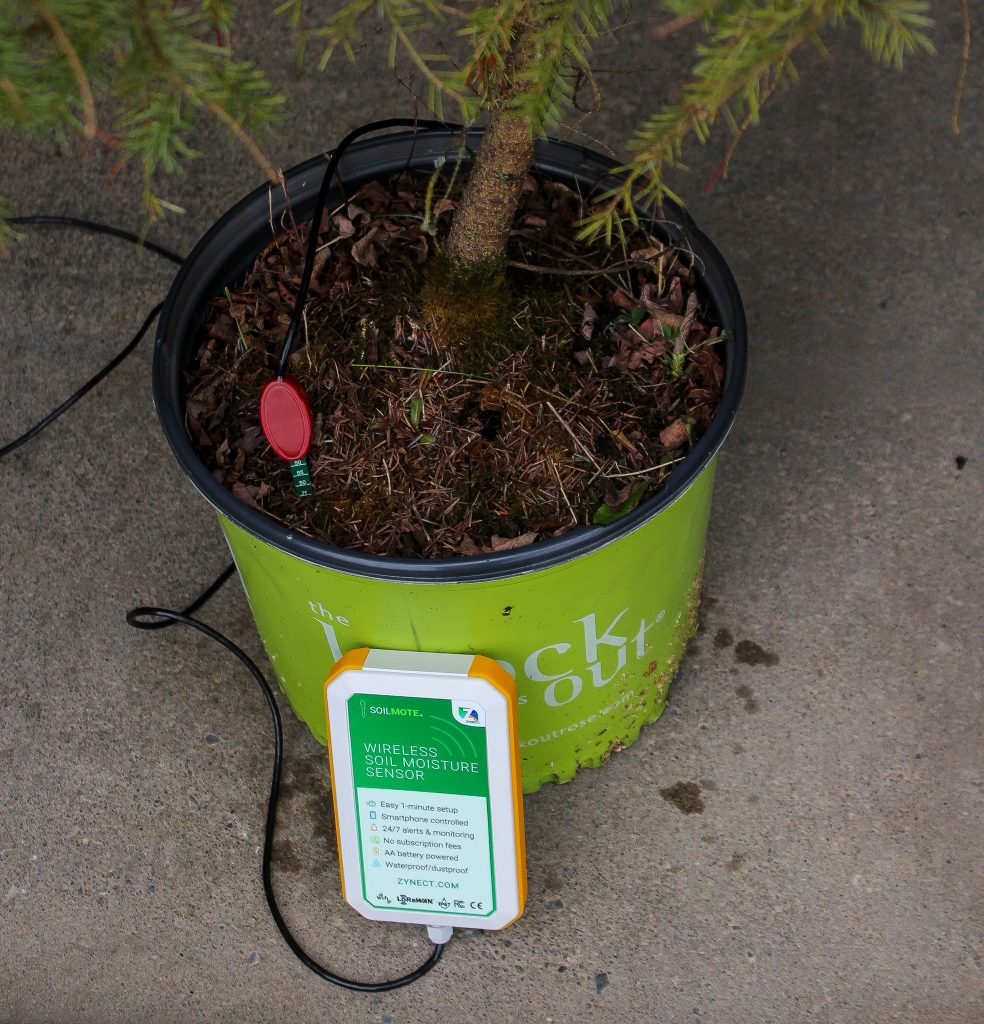 Soilmote inserted in Potted Christmas tree.